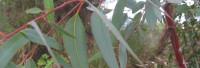 Eucalyptusöl naturrein (Eukalyptusöl)
