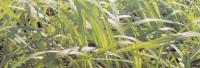 Indisches Melissenöl naturrein