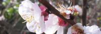 Parfumöl Mandelblüte