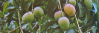 Parfümöl Mango Fruit