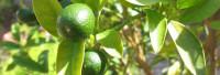 Petitgrainöl naturrein