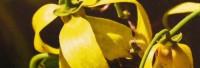 Ylang-Ylang naturidentisch