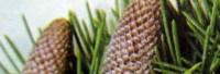 Zedernholzöl Atlas kbA naturrein