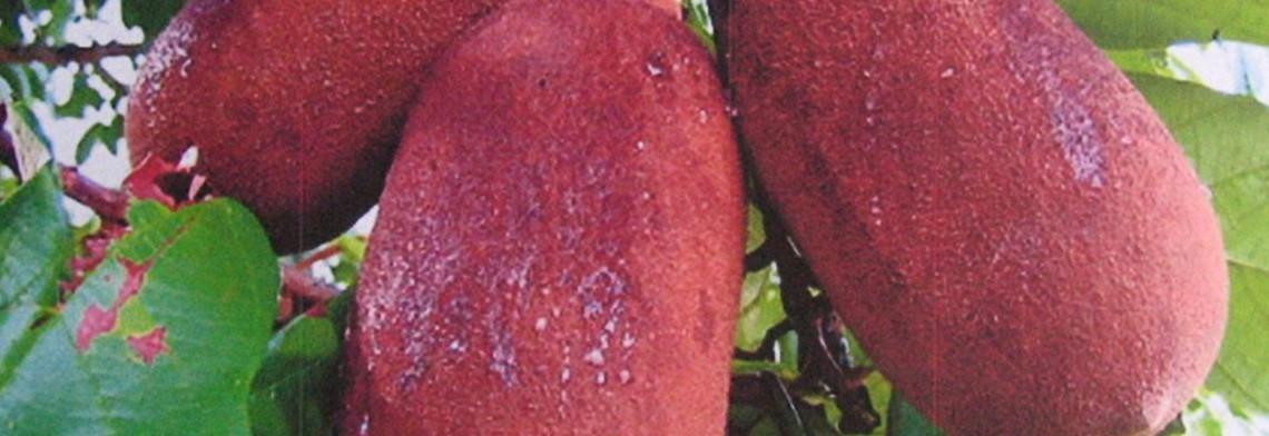 Copoazu (Cupuacu) Butter, gepresst
