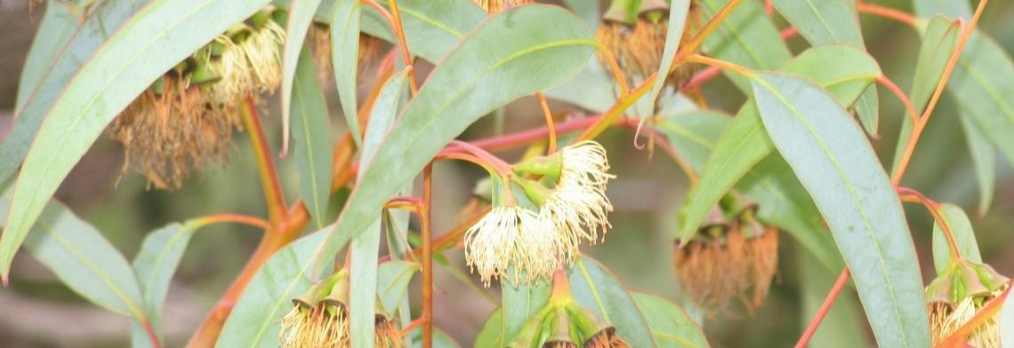 Eucalyptus-Citriodora-Öl naturrein (Zitronen-Eukalyptus)
