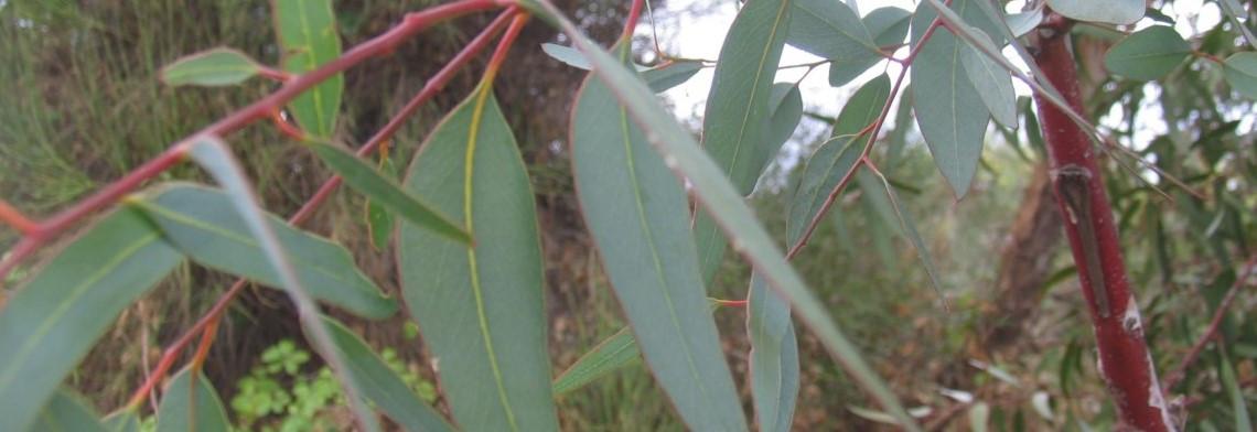 Eukalyptusöl, naturidentisch