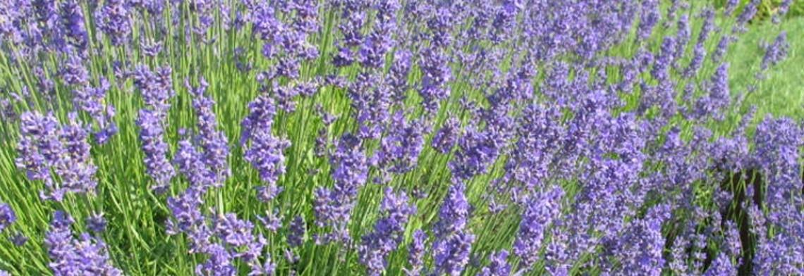 Lavendelöl Montblanc naturrein