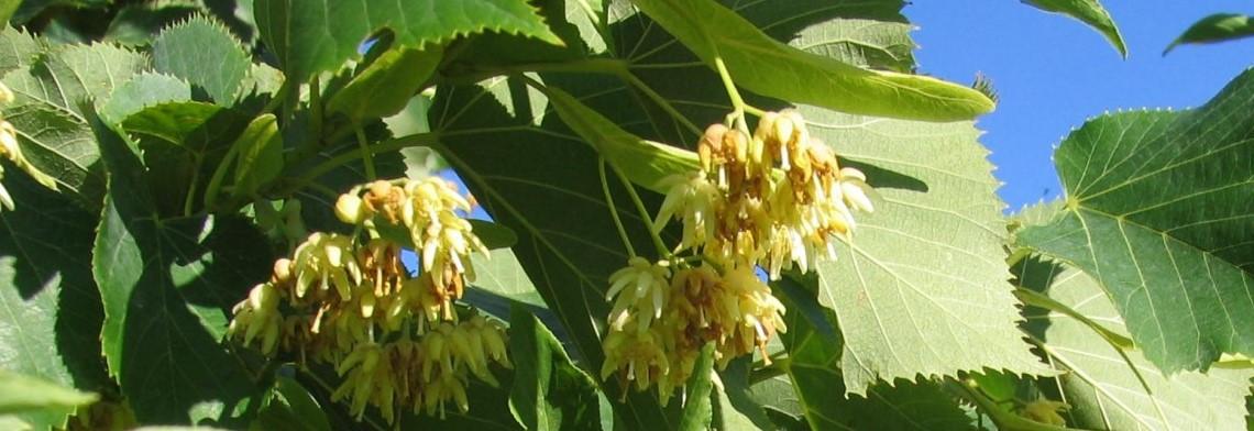 Parfümöl Lindenblüte