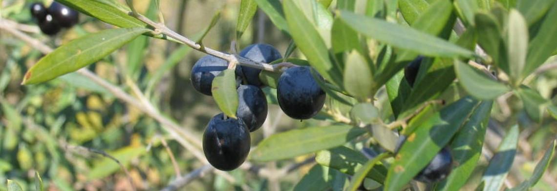 Olivenöl extra nativ, kaltgepresst