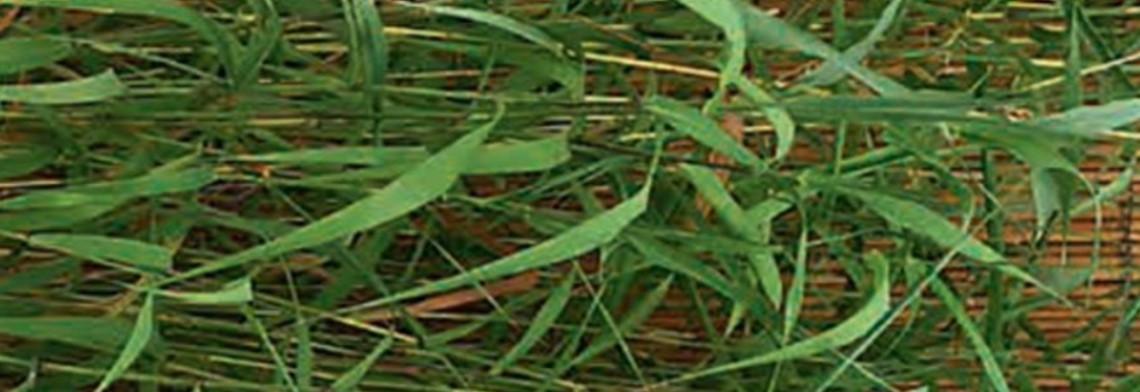 Palmarosaöl naturrein