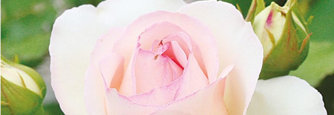 Rosa-Centifolia-Mischung