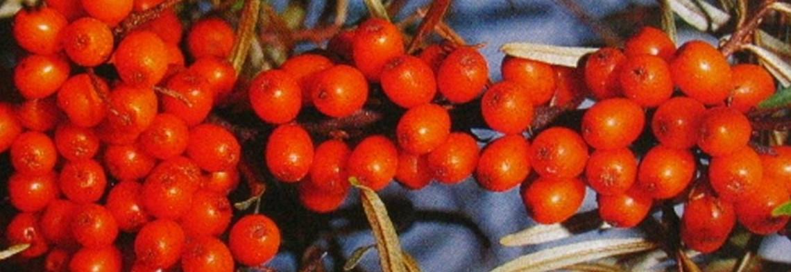 Sanddornfruchtfleisch-CO2-Extrakt ökologisch