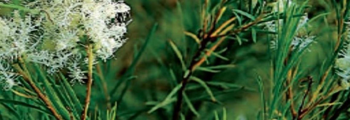 Teebaumöl (TeaTree) naturrein