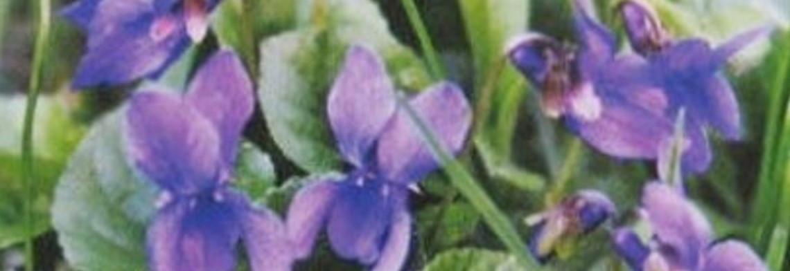 "Parfümöl Violet Flower ""neu"""