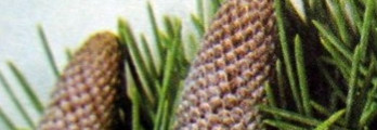 Zedernholz Atlas kbA naturrein