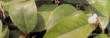 Amyrisöl (=Westindisches Sandelholzöl), naturrein