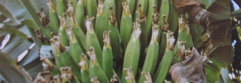 Parfumöl Banane