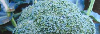 Brokkolisamenöl kaltgepresst bio
