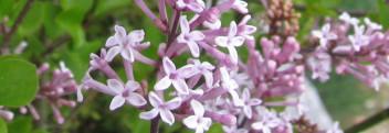 Parfumöl Lilas en Fleur (duftender Flieder)