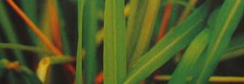 Lemongrasöl naturrein (Zitronengrasöl)