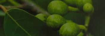 Litsea-Cubeba-Öl naturrein