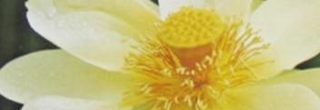 Parfümöl Lotus Blossom