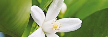 Parfümöl Neroli Blossom (Orangenblüte)