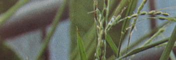 Parfumöl Reisblüte