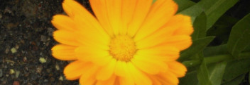 Calendulaöl BIO (Basis Sonnenblumenöl, bio)