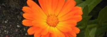 Parfumöl Ringelblume