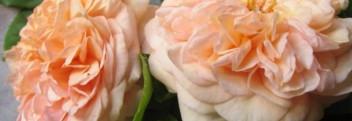 Parfümöl Rose Wild Garden