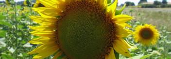 Sonnenblumenöl Oleic, raffiniert