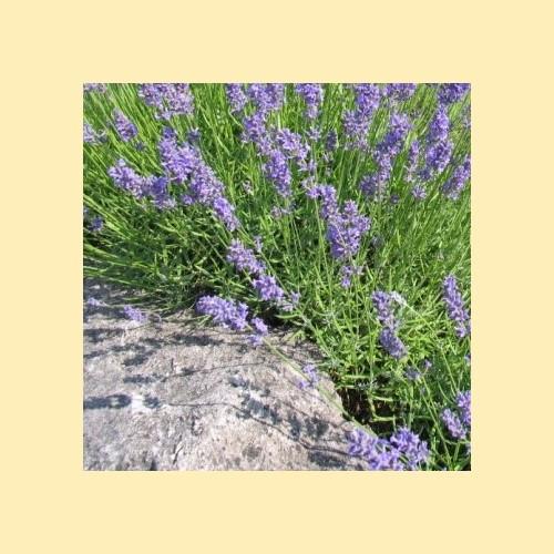"""Lavendelöl """"Montblanc"""", naturrein   50ml"""