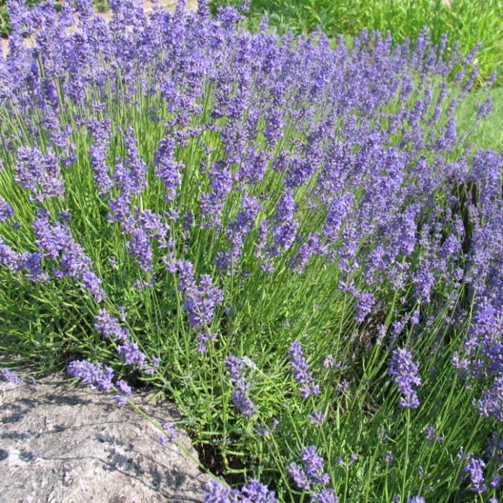 """Lavendelöl """"Montblanc"""", naturrein  500ml"""