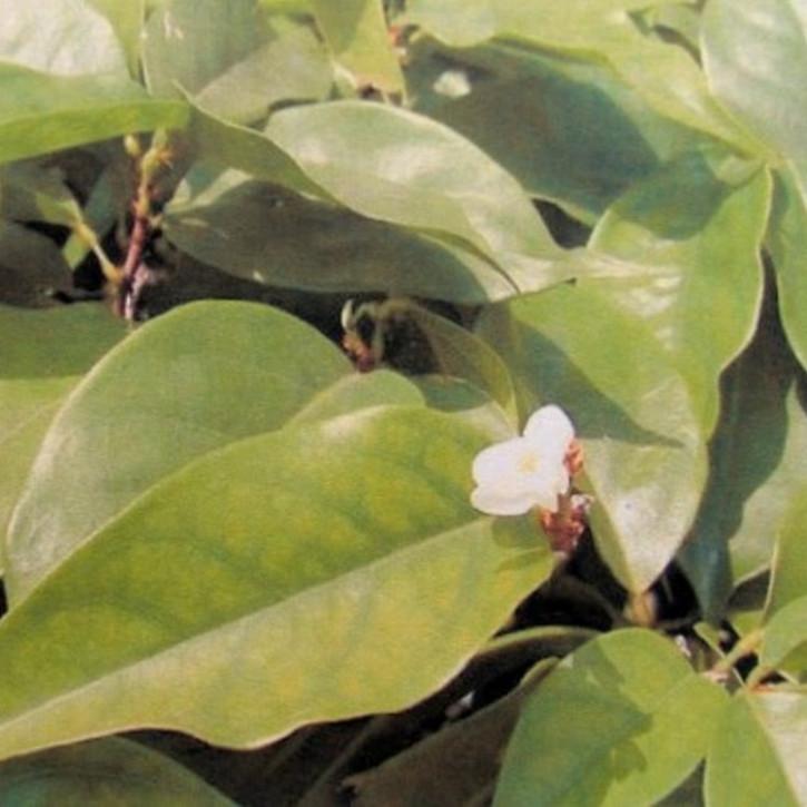 Amyrisöl (=Westindisches Sandelholzöl), naturrein   50ml