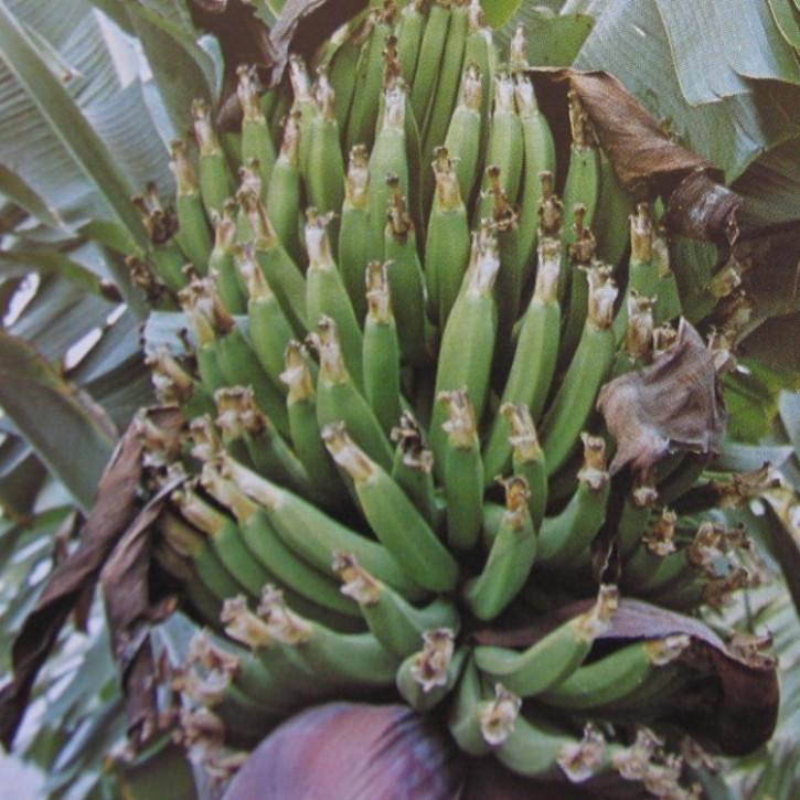 Parfümöl Banane      50ml