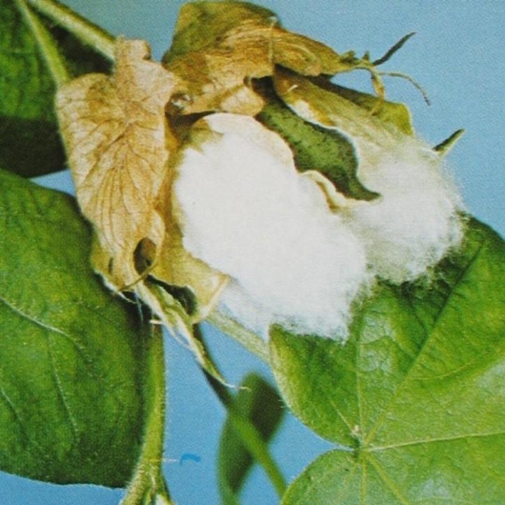 Baumwollsaatöl raffiniert GMO-frei    1Liter