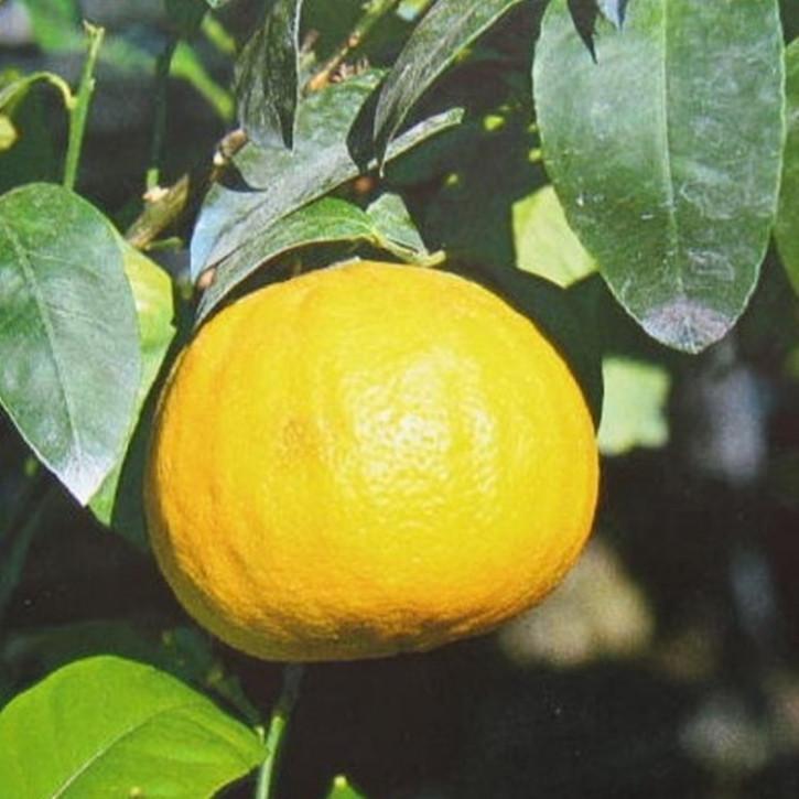 Bergamotteöl naturrein  250ml