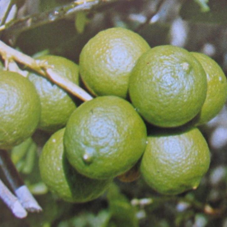 Pomeranzenöl (Bitterorangenöl) naturrein   10ml