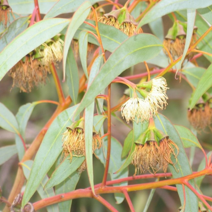 Eukalyptus-citriodora-Öl (Zitroneneukalyptusöl) naturrein   50ml