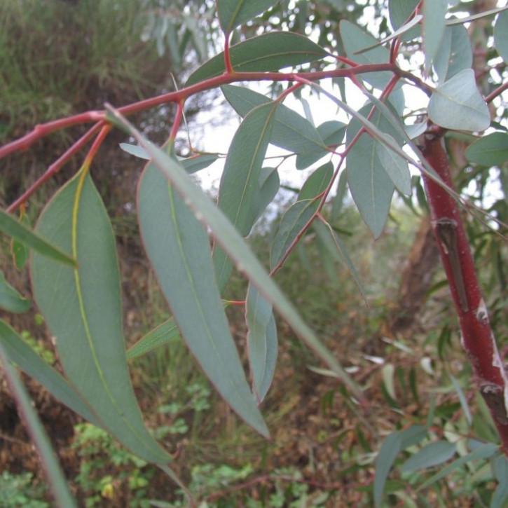 Eukalyptusöl naturrein  250ml