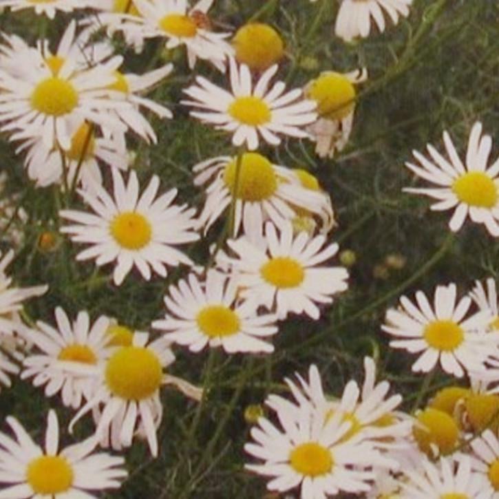 Parfumöl Kamille N     250ml