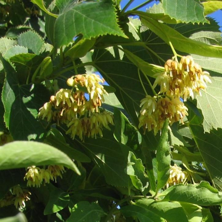 Parfümöl Lindenblüte     20ml