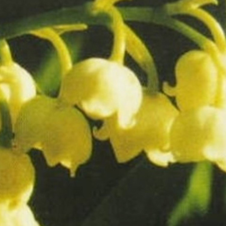 Parfümöl Muguet (Maiglöckchen)     10ml