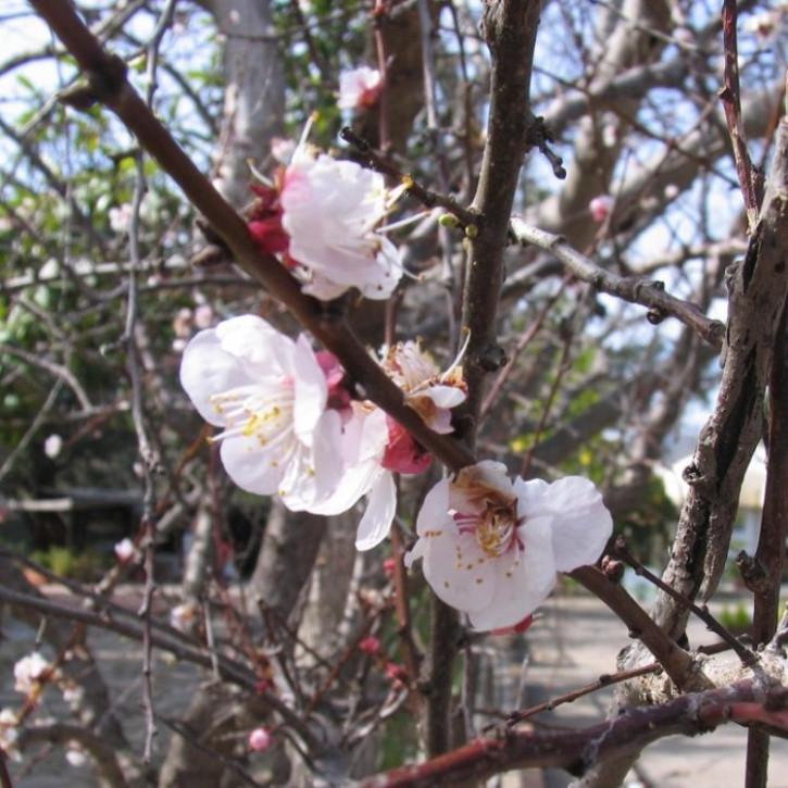 Parfumöl Mandelblüte      10ml