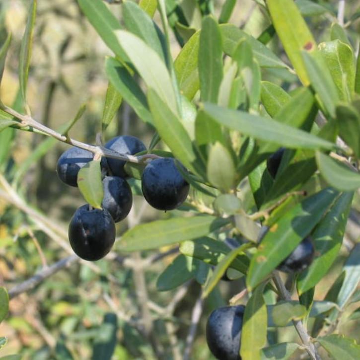 "Olivenöl ""nativ extra"", kaltgepresst   5Liter"