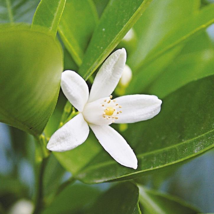 Parfümöl Neroli Blossom      20ml