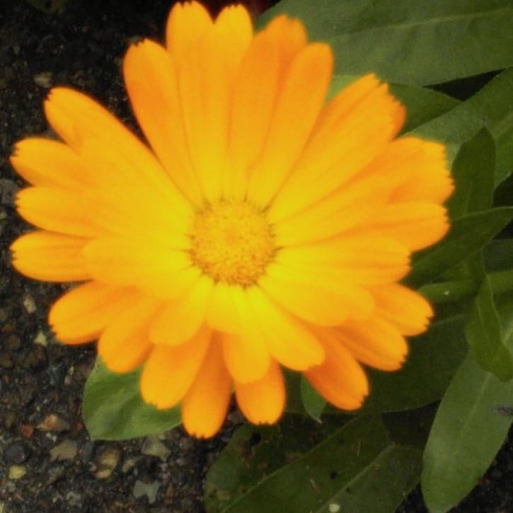 Calendulaöl BIO (Basis Sonnenblumenöl, bio)     30ml