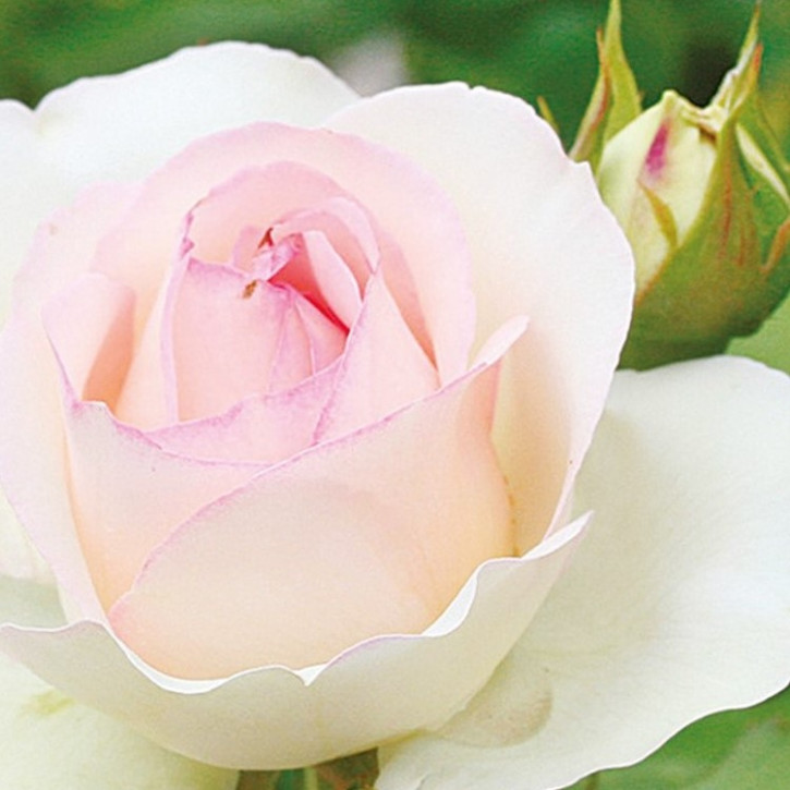 Rosa-Centifolia-Mischung     20ml