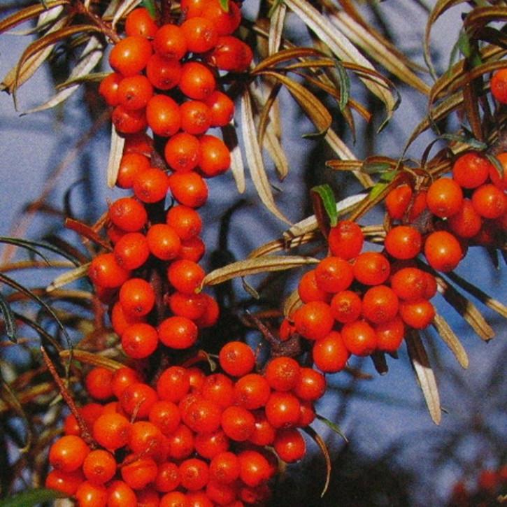 Sanddornfruchtfleisch CO2-Extrakt ökologisch      20g